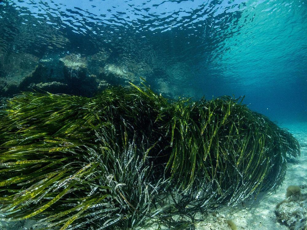Prateria di Posidonia oceanica - Ph. © Francesco Pacienza