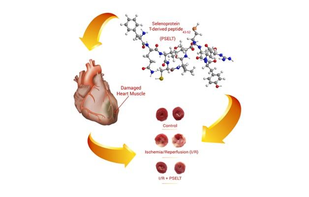 Schema dell'azione della Selenoproteina T 43-52