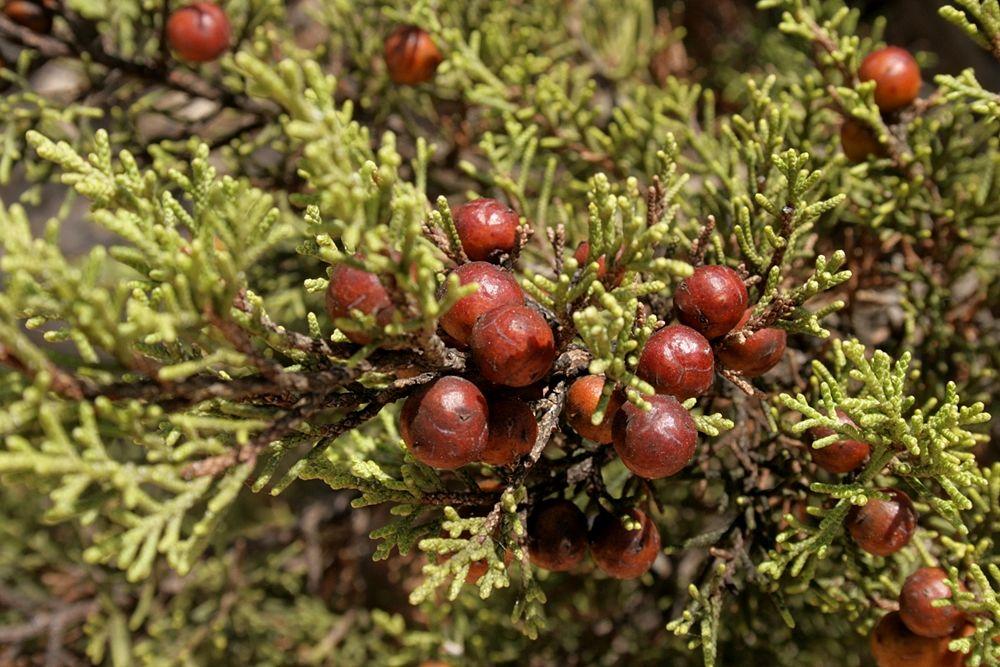 Ramo di Juniperus Phoenicea con coccole - Image source