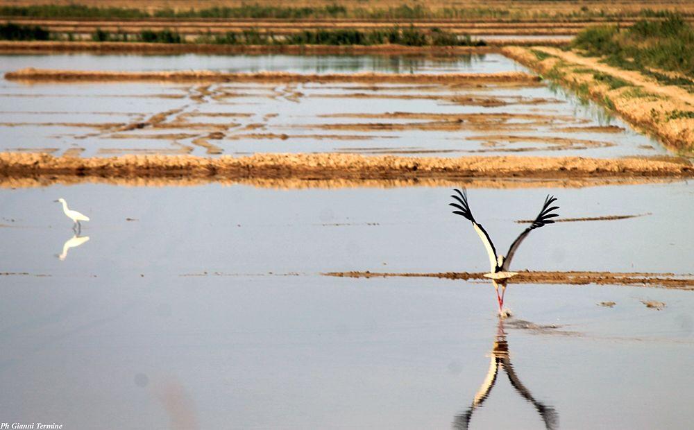 Cicogna in volo nelle risaie di Sibari (Cosenza) - Ph. © Gianni Termine