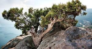 Il Ginepro Fenicio della Calabria grecanica: un progetto per impedirne l'estinzione