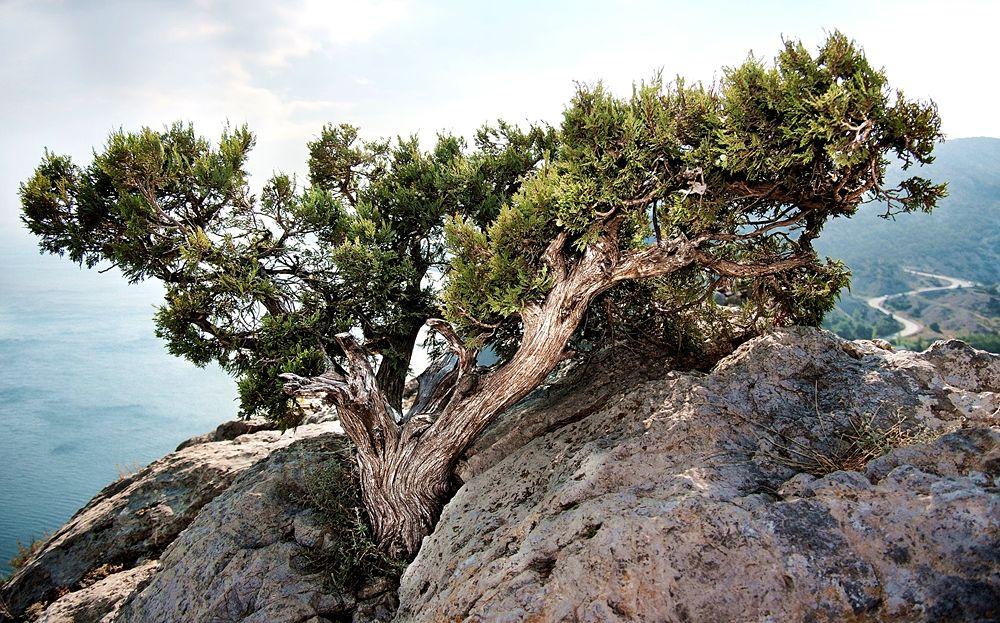 Vecchio esemplare di Ginepro fenicio (Juniperus Phoenicea)