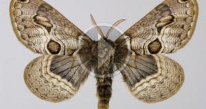 SOUTH CULTURAL ROUTES: Bramea del Vulture, vive in Lucania la farfalla che viene dalla Preistoria