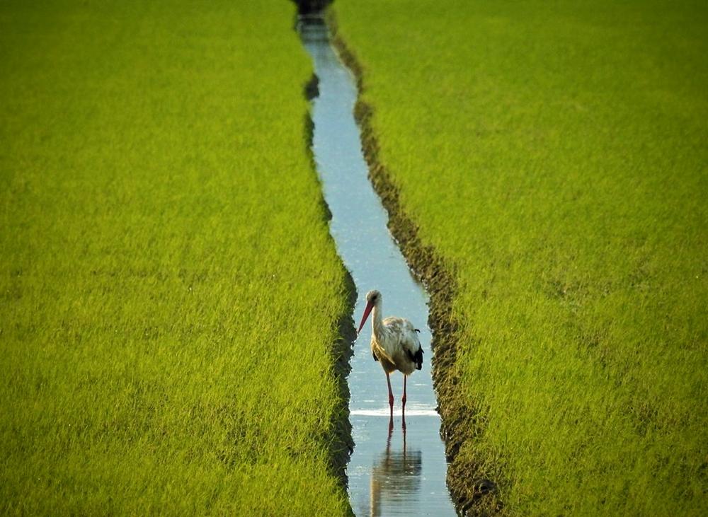Cicogna bianca in cerca di cibo nelle risaie di Sibari - Ph.  © Stefano Contin