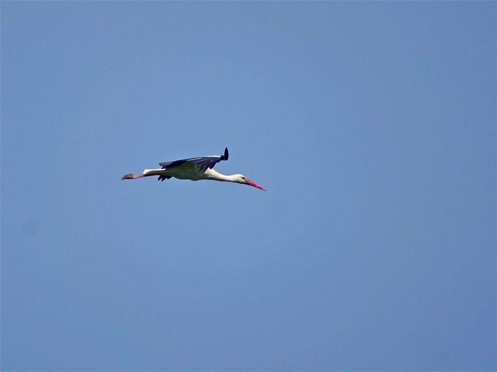Cicogna in volo nei cieli di Sibari - Ph. © Stefano Contin