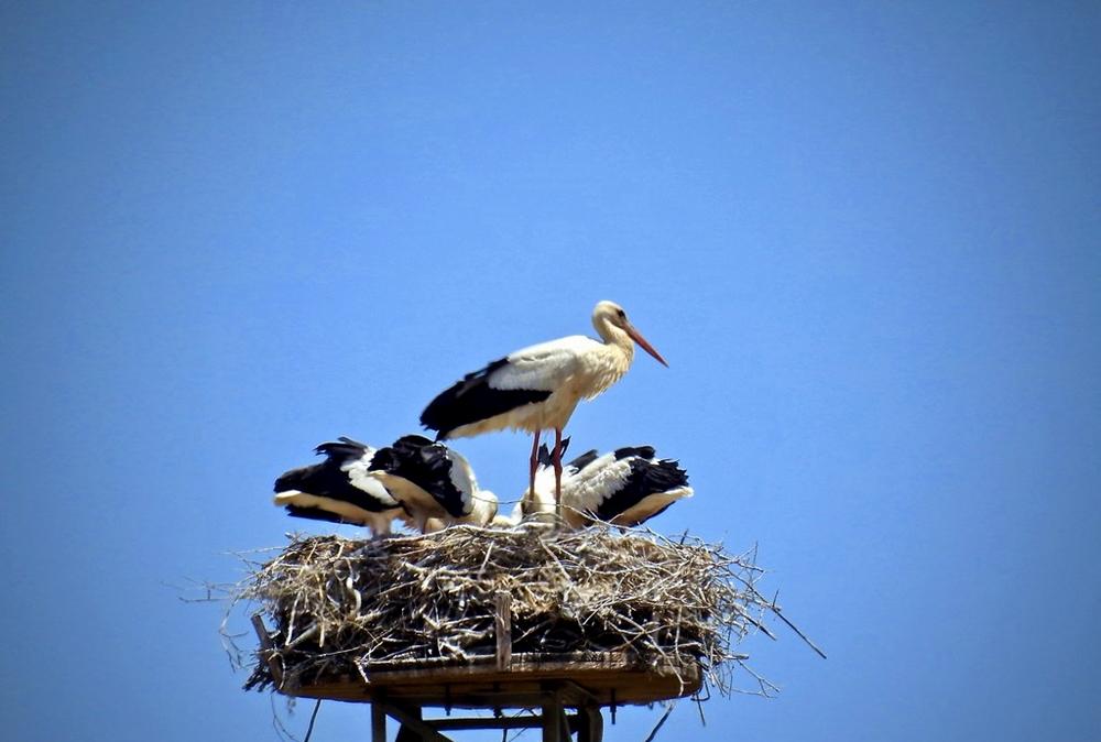 Cicogna adulta e giovani cicogne pronte al volo - Ph. © Stefano Contin