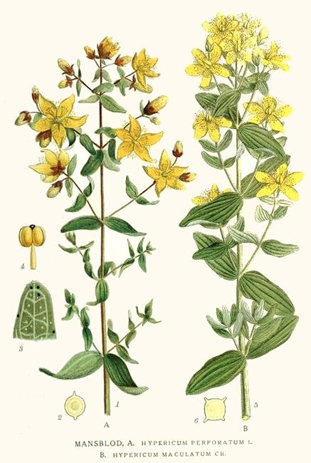 Tavola raffigurante l'iperico tratta da C. A. M. Lindman, Bilder ur Nordens Flora, 1905