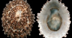 Biodiversità marina in Calabria: scoperta la Patella ferruginea, specie in via di estinzione