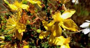 Iperico: l'erba che allontana il demonio. Segreti di una pianta ricca di virtù