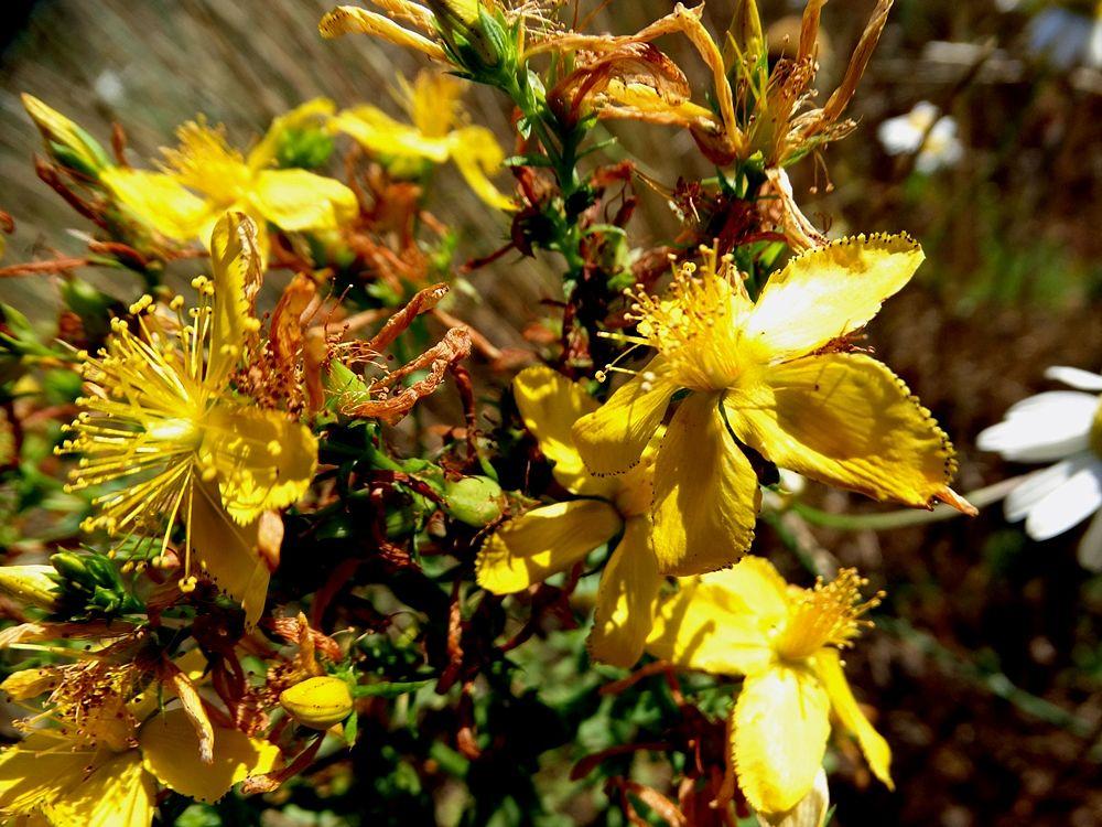 Pianta di iperico in fiore, Parco Nazionale della Sila - Ph. © Domenico Puntillo