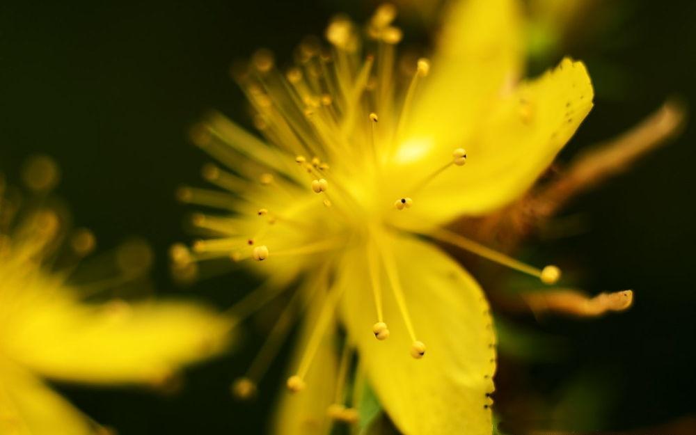 Fiore di Hypericum perforatum - Ph. Ralf Wimmer | ccby-sa2.0