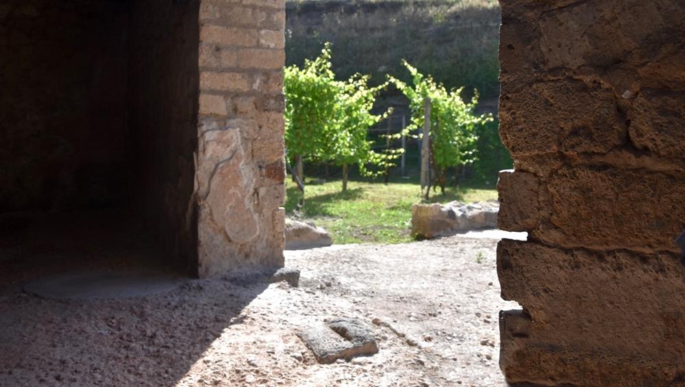 Scorcio di vigneto pompeiano visto da uno degli antichi ambienti