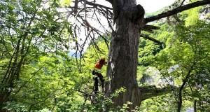 Scoperto in Abruzzo un pino nero di 900 anni. Esisteva già al tempo di papa Celestino V