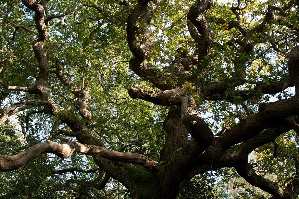 Esemplare di quercia plurisecolare - Image source