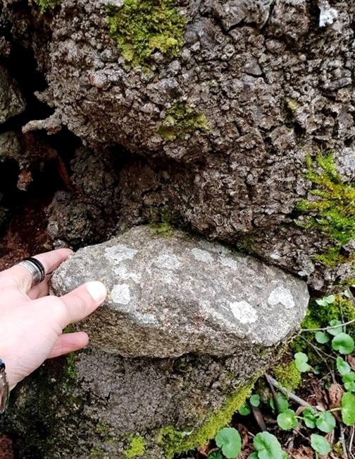 Uno dei tanti massi inglobati dal tronco del vecchio carpino nero, Parco Nazionale della Sila - Ph. © Gianluca Congi