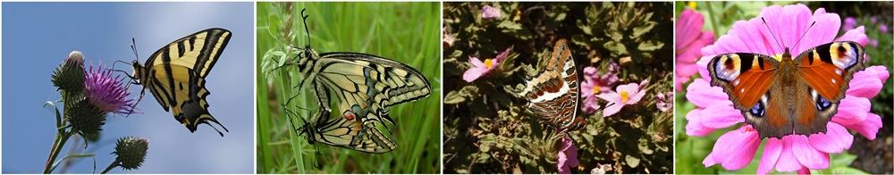 Farfalle delle specie alexanor (Papilio alexanor Esper, 1799), macaone (Papilio machaonLinnaeus, 1758), ninfa del corbezzolo (Charaxes jasius Linnaeus, 1756) e vanessa Io (Inaxis io L., 1758)