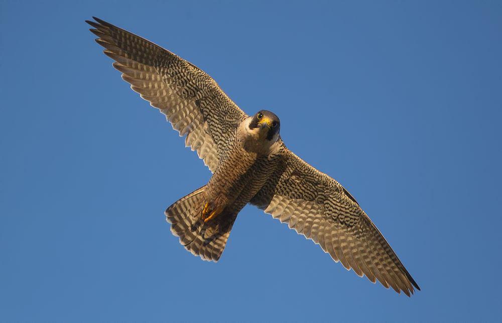 Esemplare di falco pellegrino (Falco peregrinus Tunstall, 1771) in volo - Courtesy of Domenico Margarese ©