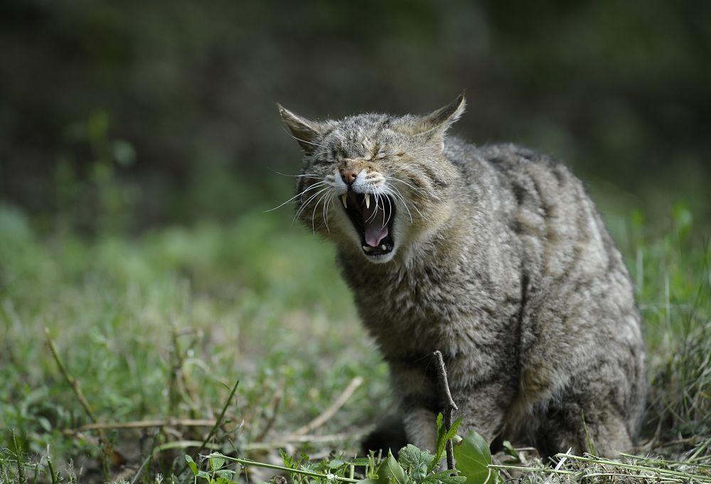 Esemplare di gatto selvatico (Felis silvestris silvestris Schreber, 1775), Parco Nazionale del Pollino