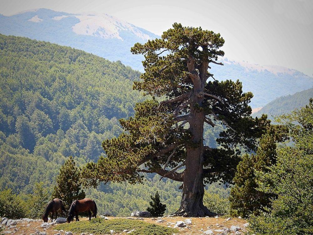Scorcio del Parco Nazionale del Pollino con esemplare di Pino loricato e coppia di cavalli al pascolo – Ph. © Stefano Contin