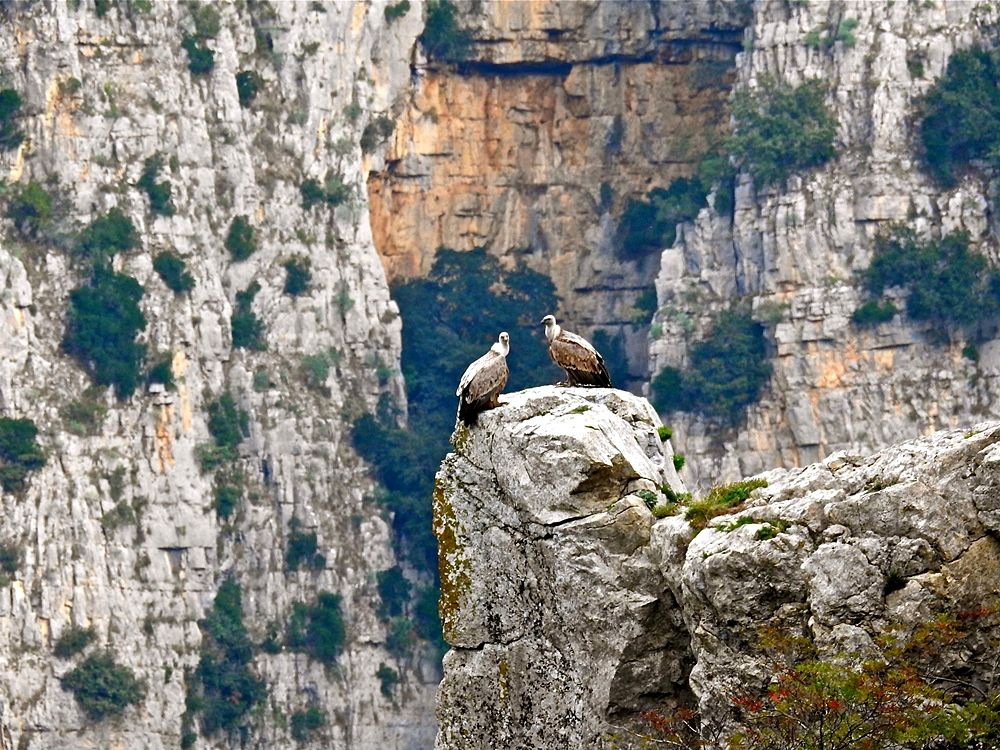 Coppia di grifoni (Gyps fulvus Linnaeus, 1758) sulle rocce delle Gole del Raganello, Parco Nazionale del Pollino – Ph. © Stefano Contin