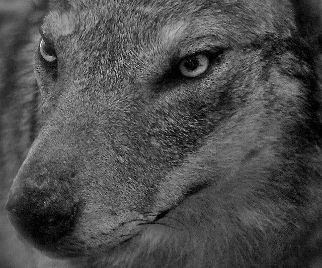 Primo piano di lupo, Parco Nazionale del Pollino - Ph. Stefano Contin