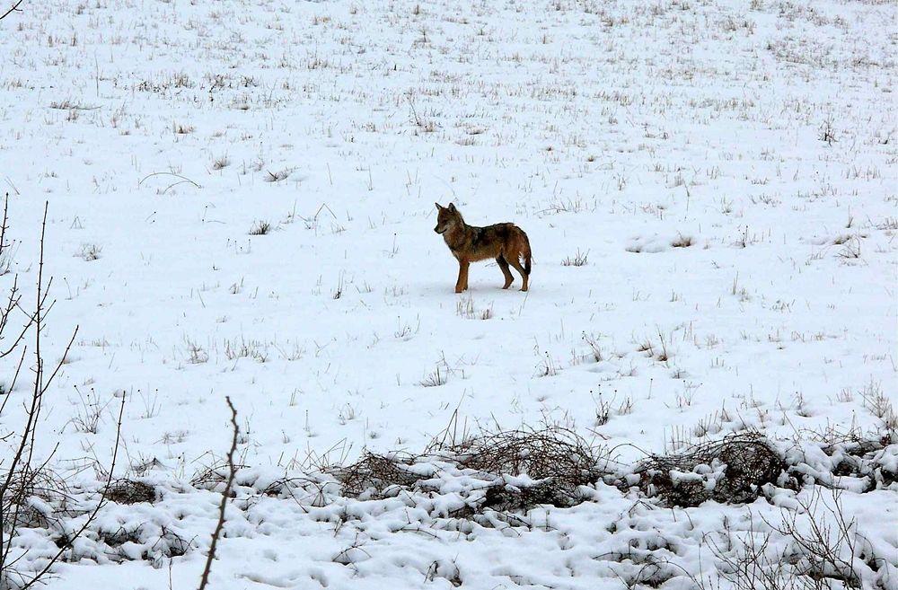 Esemplare di lupo, Parco Nazionale del Pollino - Ph. © Antonio Contin
