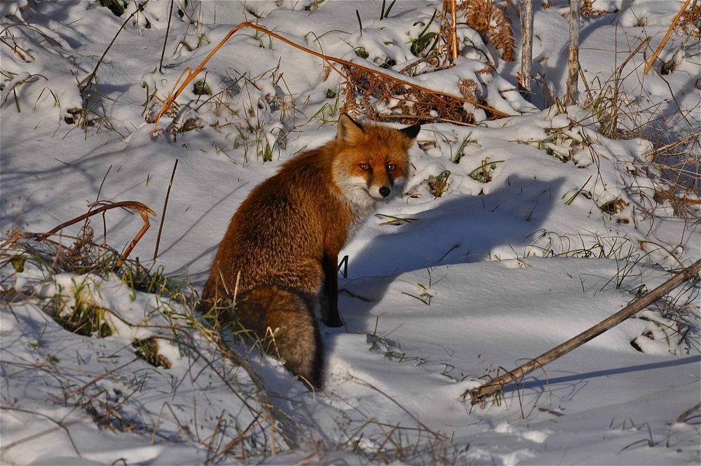 Esemplare di volpe rossa, Parco Nazionale del Pollino - Ph. Stefano Contin