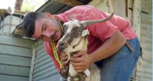 Aspromonte: Pietro Orlando, pastore 2.0, ha inventato il collare anti-lupi