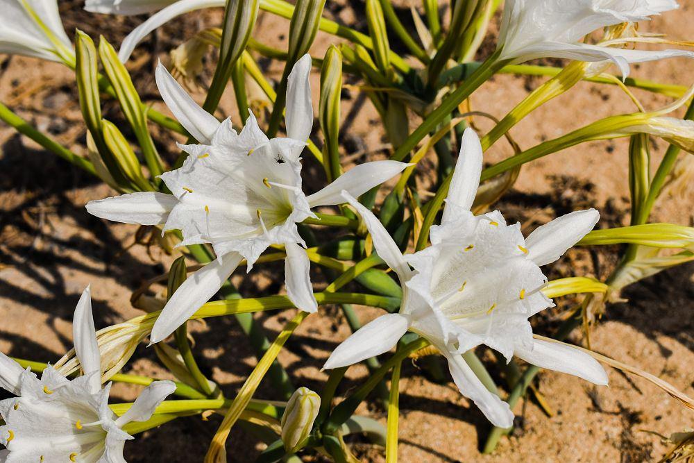 Gigli di mare (pancratium maritimum)