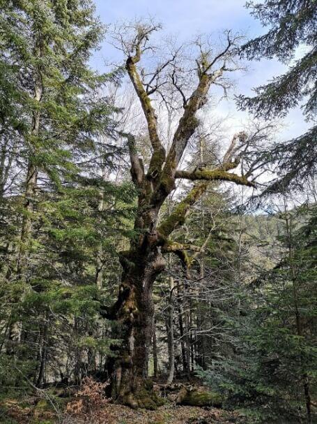 L'esemplare di rovere di 934 anni, Parco Nazionale d'Aspromonte