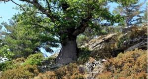 Nel Parco d'Aspromonte la quercia più antica del pianeta. Ha quasi mille anni