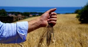 Grano Senatore Cappelli: uno studio del Gemelli di Roma ne svela gli effetti benefici