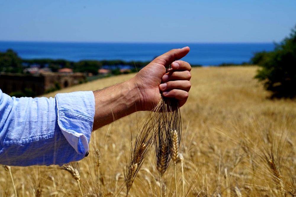 Campo di grano Senatore Cappelli in Calabria - Image by Mulinum