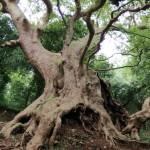 Il Patriarca di Curinga: guardiano verde di una terra plurimillenaria