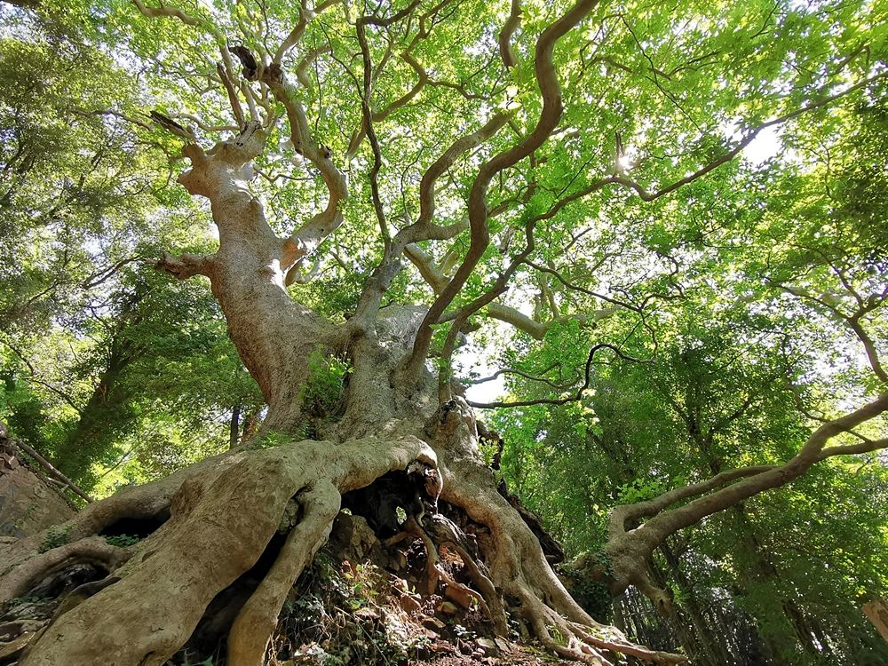 Il gigante di Curinga - Image by Giants Trees Foundation