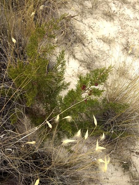 Piccola pianta di Ginepro Fenicio nell'area dei Calanchi di Palizzi
