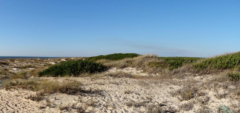 Macchie di Ginepro Fenicio in ambiente dunale