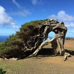 In Calabria alla scoperta del Ginepro Fenicio, rarità botanica a rischio di estinzione