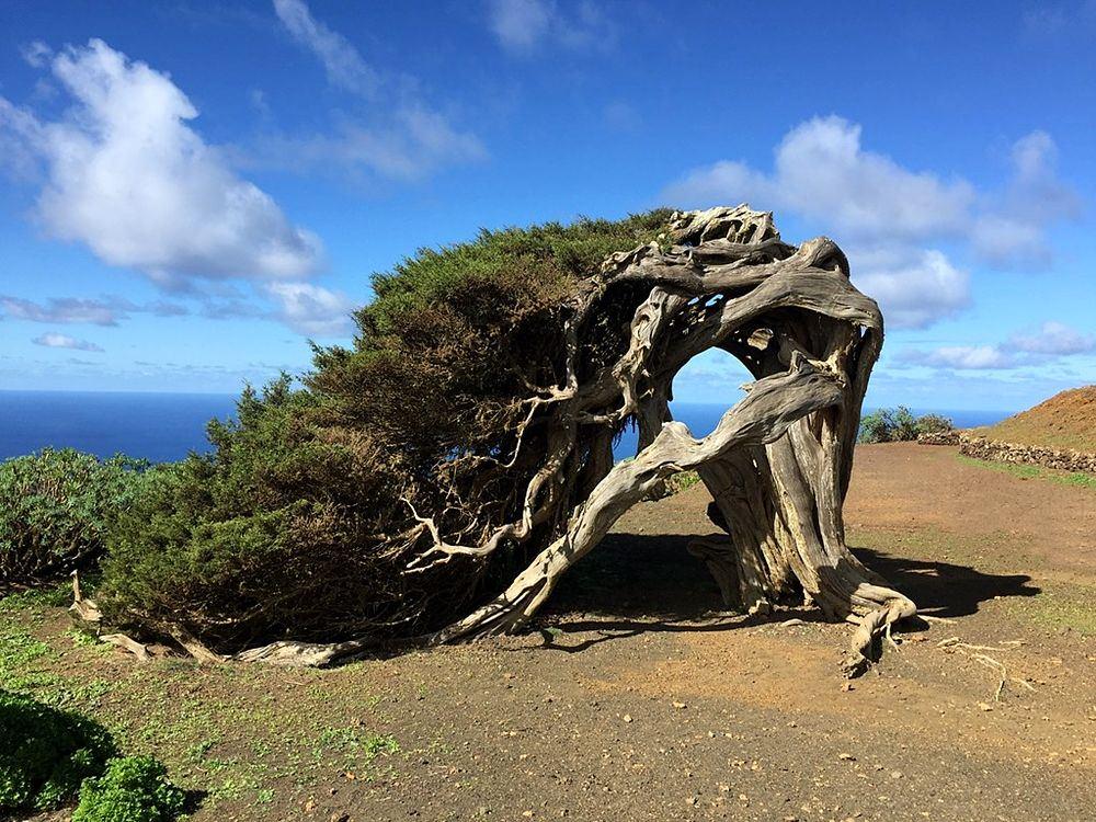 Vecchio esemplare di Ginepro Fenicio (Juniperus Phoenicea) - Image source