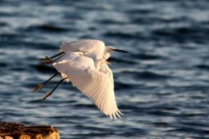Coppia di garzette spicca il volo nell'oasi Naturalistica di Vendicari (Siracusa) - Ph. Gabriele Iuvara - License