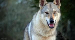 Il sorprendente incontro con un lupo a Ferrandina, di Francesco La Centra
