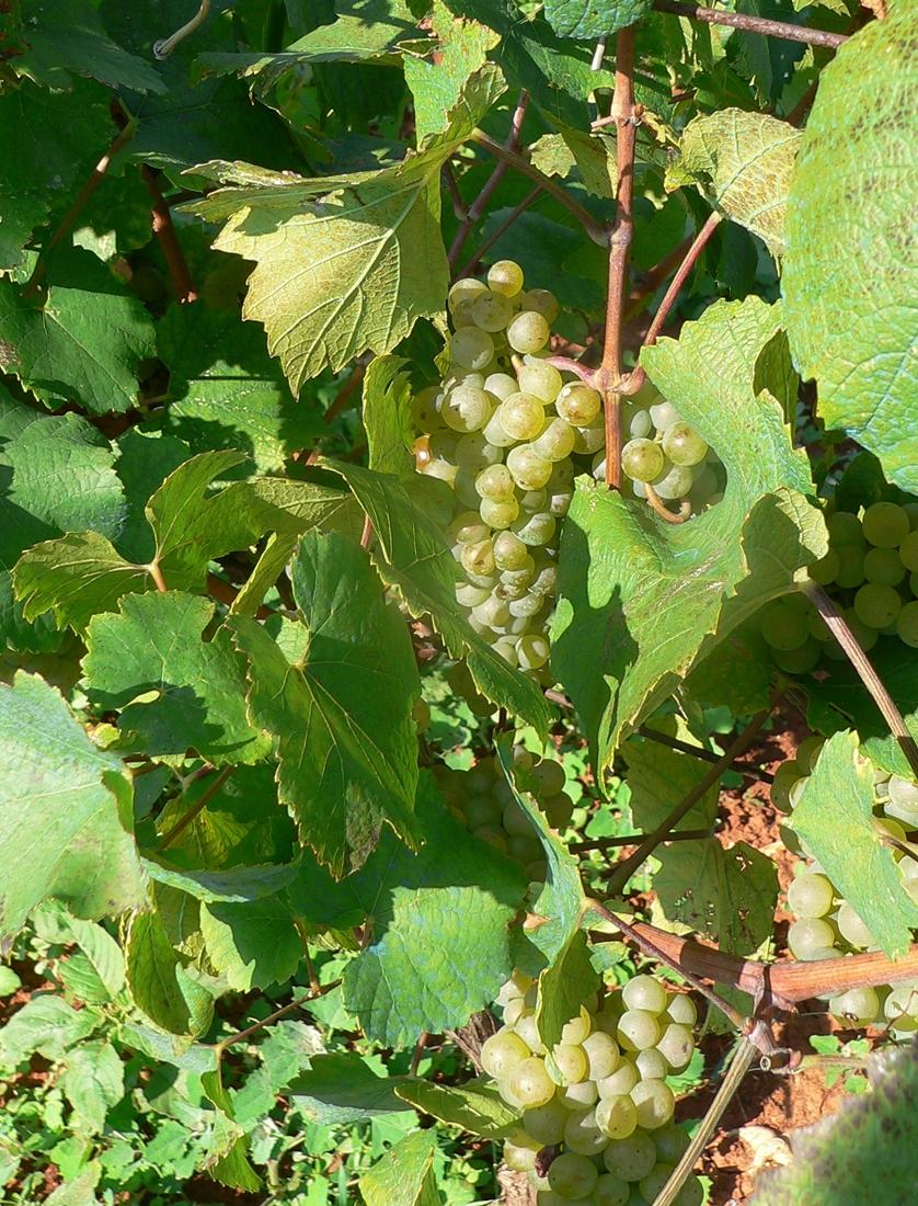 Malvasia_grapes