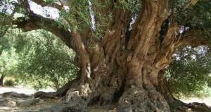 Patriarchi del Sud | Ha circa 4000 anni il grande patriarca di Luras, l'olivo selvatico più vecchio d'Europa