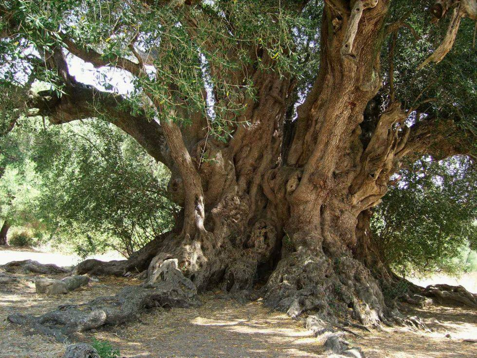 Sardegna - Il plurimillenario olivastro di Luras - Ph.