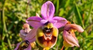 Gargano, terra di orchidee: 82 specie diverse e una nuova recente scoperta