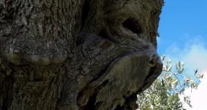 Un ulivo 'dantesco' sul Gargano, negli scatti del pugliese Antonio Caputo