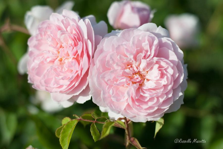 Varietà di rose presenti nel giardino di Villa Larocca, Bari - Ph. © Rossella Mazzotta
