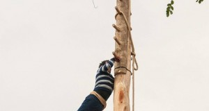 Maggio di Accettura: l'innalzamento e la scalata del grande albero rituale