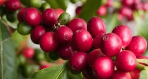 In Francia inutile l'embargo contro la Puglia. Xylella individuata su pianta di caffé sudamericana