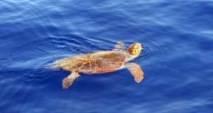 Biodiversità: la Calabria si conferma la più importante area di nidificazione di tartarughe Caretta caretta